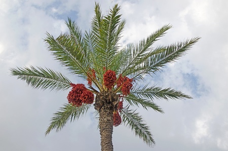 dioecious: date palm