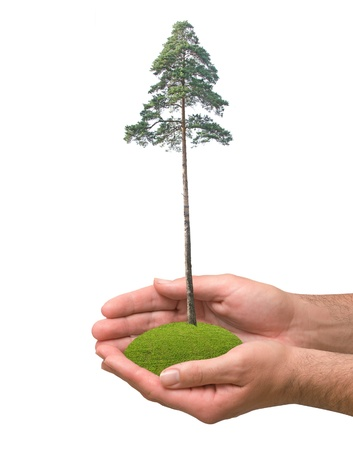 Pine tree in hand Stock Photo - 10832502