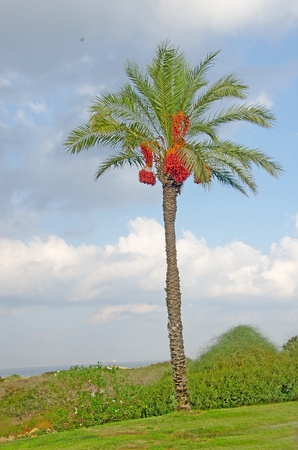 dioecious: Palm at Israel coast