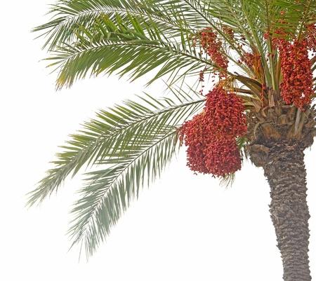 date palm Stock Photo - 10877728