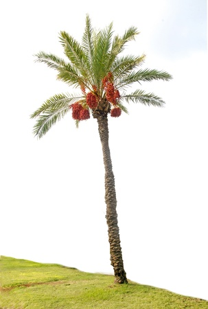 palm tree fruit: date palm