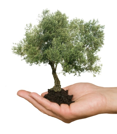 hand tree: Olive tree in hand as a gift