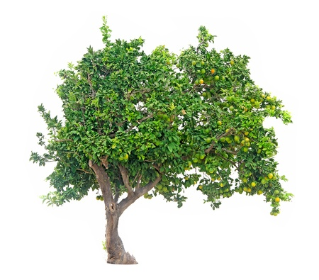 albero da frutto: agrumi su sfondo bianco