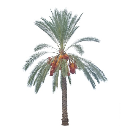 date tree: Palm tree on white background Stock Photo