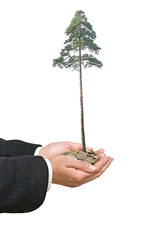 pine tree in hands photo