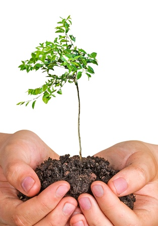 citrus sapling in hands Stock Photo - 11688173