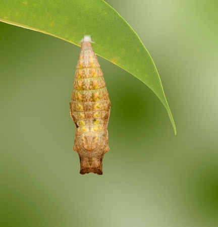 nympha: Close up of pupae of swallowtail