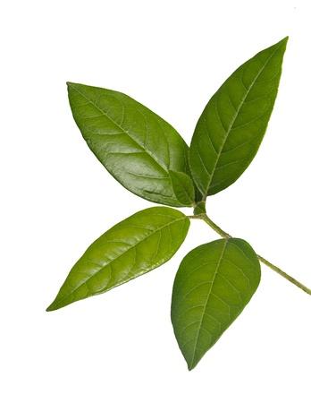 Sapling isolated on white background Stock Photo - 12505050