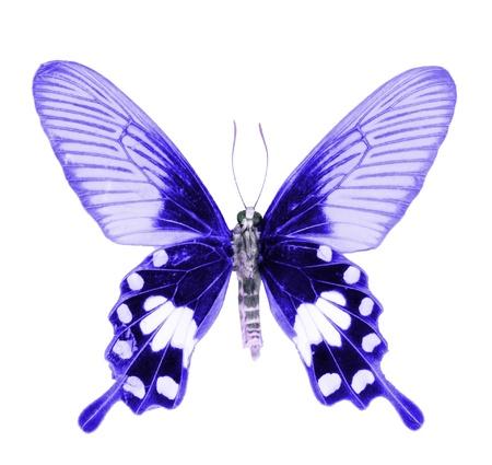 mariposa azul: mariposas sobre fondo blanco
