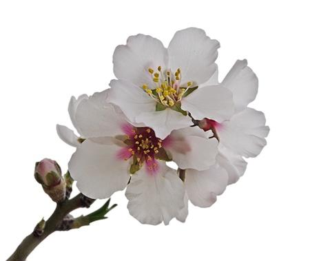 Almond fiori