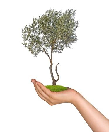 sembrando un arbol: El olivo en la mano Foto de archivo