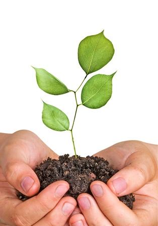 sapling in hands photo