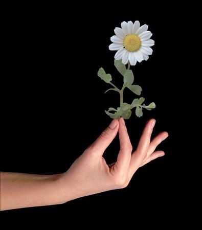 matricaria recutita: Mayweed in mano