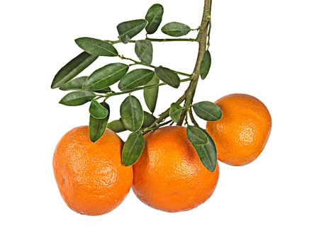 Tangerines on branch Stock Photo - 12657696