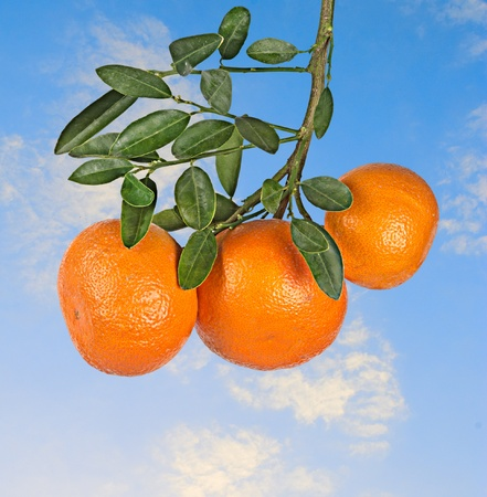 Ripe tangerine Stock Photo - 12657669