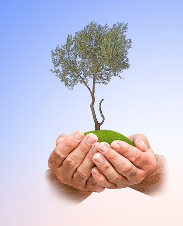 Olive tree in hands photo