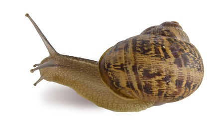 mollusca: Clsoe up of Burgundy  Roman  snail isolated on white background