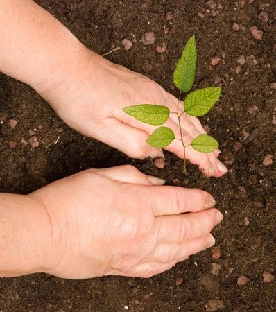 plantando arbol: La plantación de eucalipto árbol joven mujer