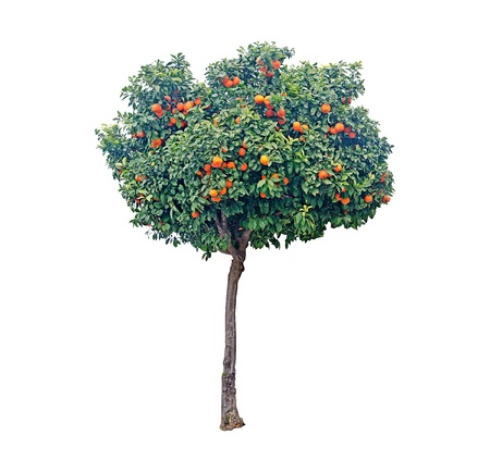 foliage tree: Citrus tree
