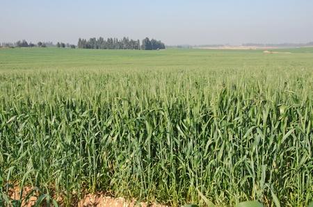 israel farming: Wheat field