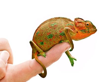 Chameleon on hand photo