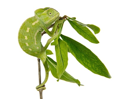 insectivorous: Chameleon on branch