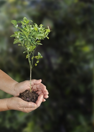 Woman planting citrus sapling photo