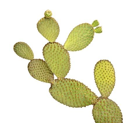 cactus botany: Opuntia cactus isolated on white background