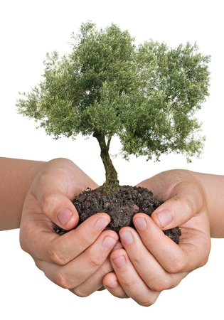 offset up: Olive tree in hands as a gift
