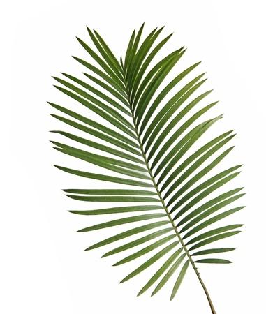cycad: Cycad leaf