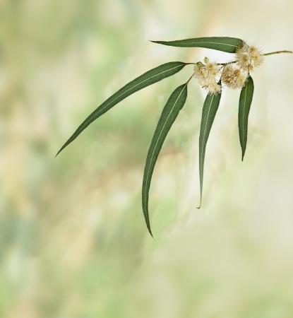 eucalyptus trees: eucalyptus branch