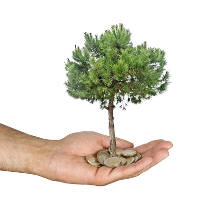 pine tree in hand photo