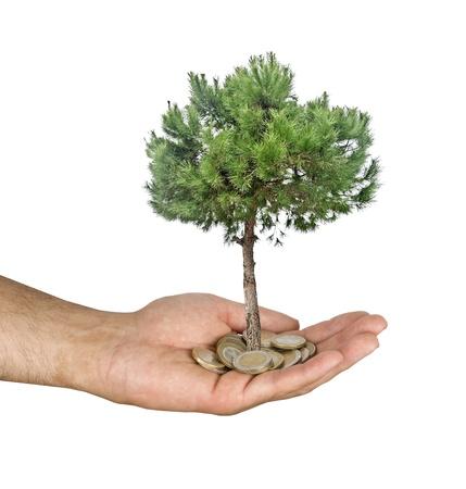 pine tree in hand photo