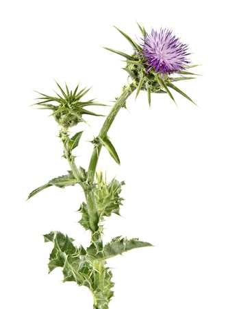 vulgare: Flowering Spear Thistle (Cirsium vulgare) Stock Photo