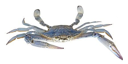 Close up of blue swimmer crab photo