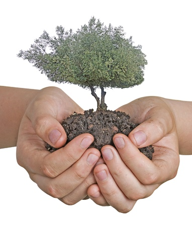 Olive tree in hands as a gift photo