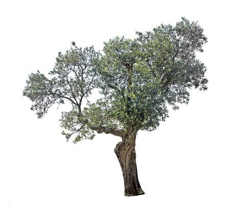 olive green: Olive tree Stock Photo
