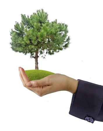 pine tree in hand Stock Photo - 20203798
