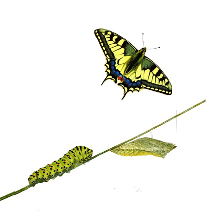 nympha: Close up of caterpillar , pupae, and swallowtail butterfly Stock Photo