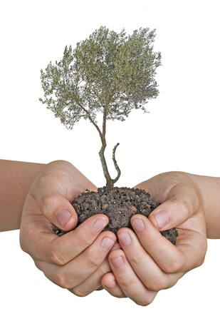 Olive tree in hands as a gift Stock Photo - 21613532