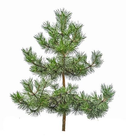 arbol de pino: �rbol de pino