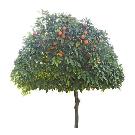 tangerine tree: Tangerine tree on white background