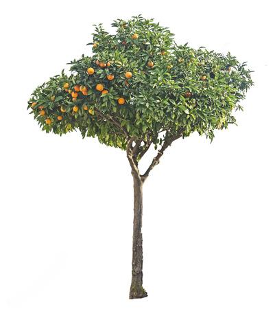Árbol de mandarina en el fondo blanco Foto de archivo