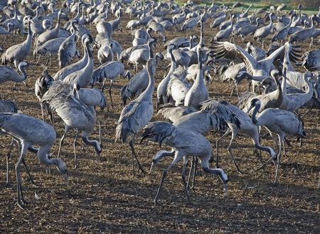 nature reserves of israel: Common crane at Hula, Israel Stock Photo