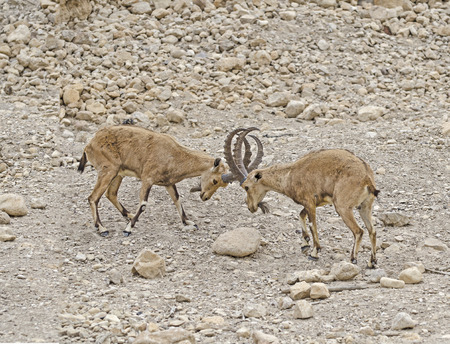 nature reserves of israel: Ibexes Stock Photo