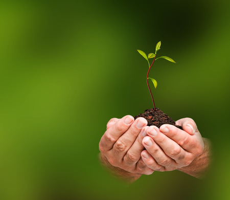 emergent: avocado sapling in hands as a gift of agriculture Stock Photo