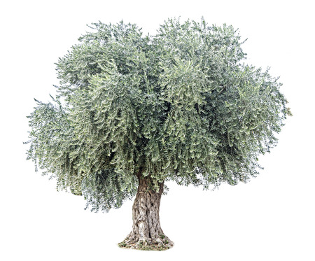 ecosavy: Olive tree Stock Photo