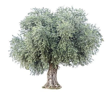 feuille arbre: Olivier Banque d'images