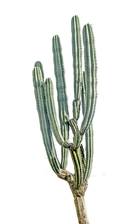 Cactus su bianco backgraund Archivio Fotografico