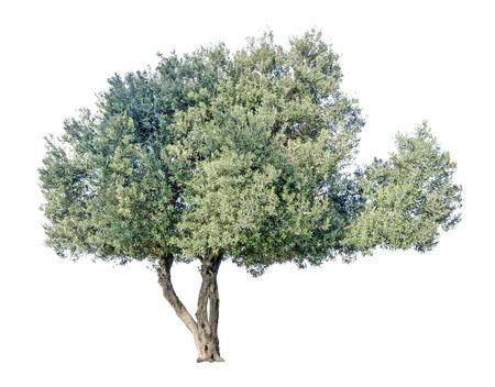 Olive tree Banque d'images